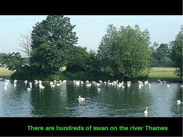 There are hundreds of swan on the river Thames
