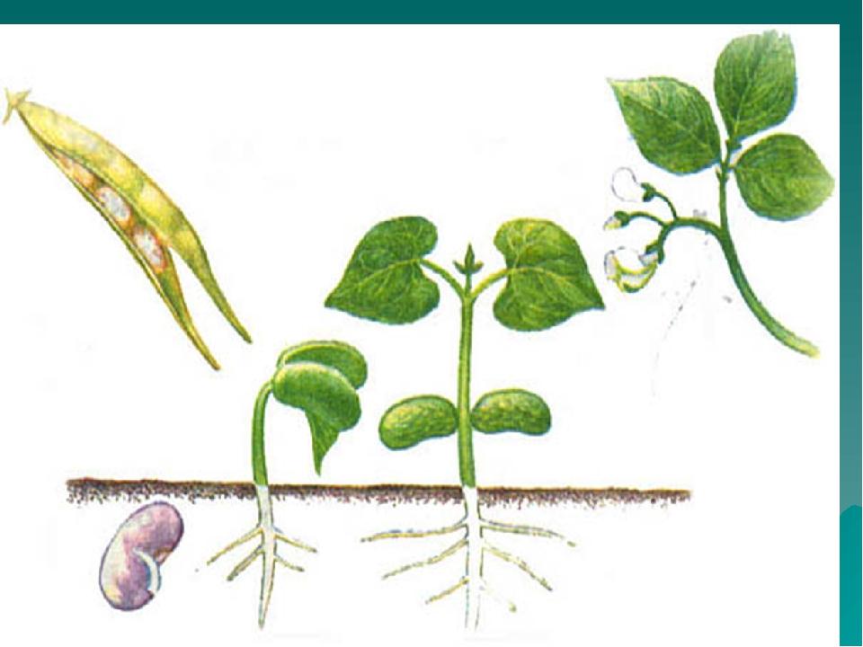 картинка как развивается растение из семени обошлось