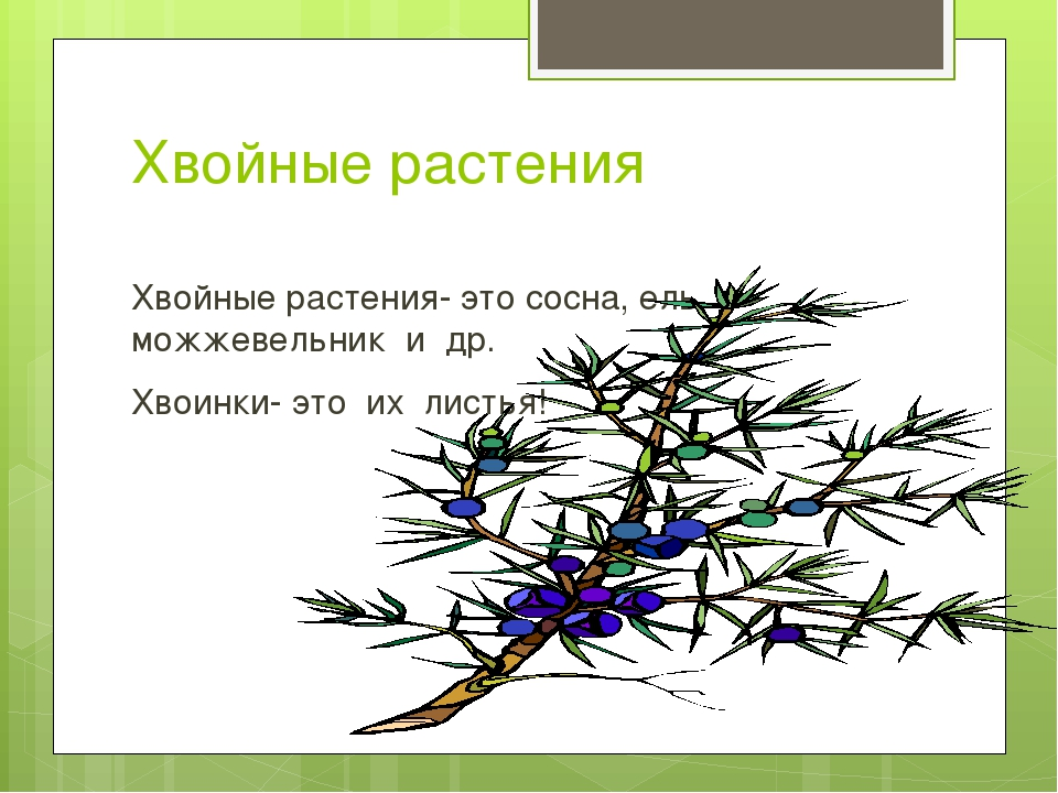 Хвойные растения Хвойные растения- это сосна, ель, можжевельник и др. Хвоинки...