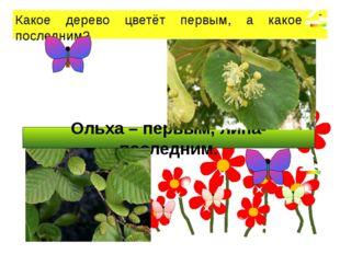 Ольха – первым, липа- последним. Какое дерево цветёт первым, а какое – после