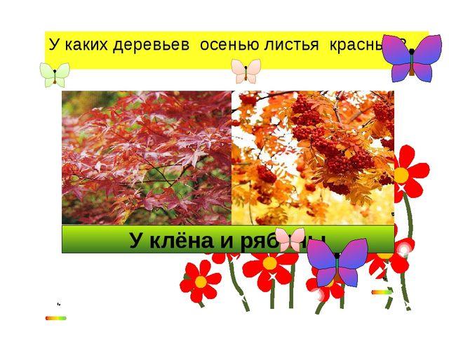 У клёна и рябины У каких деревьев осенью листья красные?