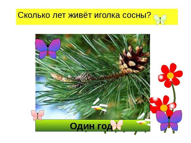 Один год. Сколько лет живёт иголка сосны?