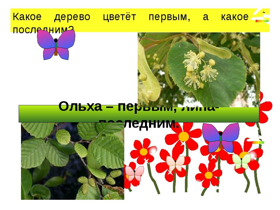 Ольха – первым, липа- последним. Какое дерево цветёт первым, а какое – после...