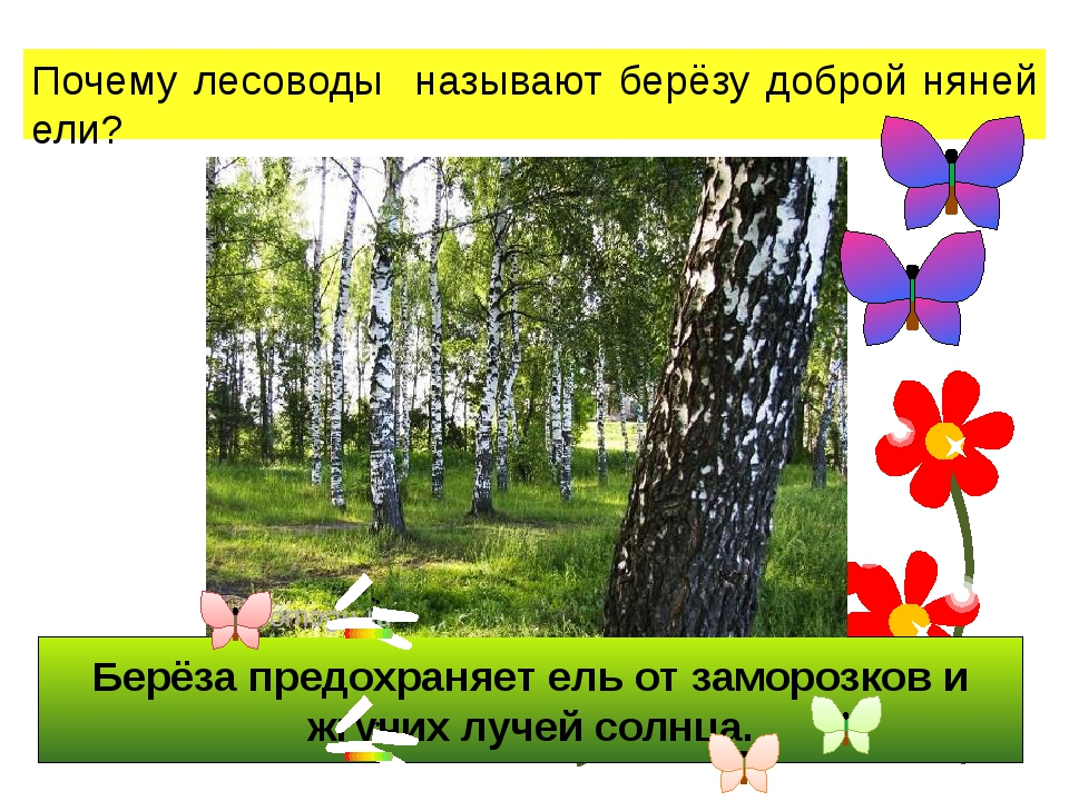 Берёза предохраняет ель от заморозков и жгучих лучей солнца. Почему лесоводы...