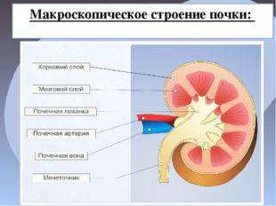 Макроскопическое строение почки: