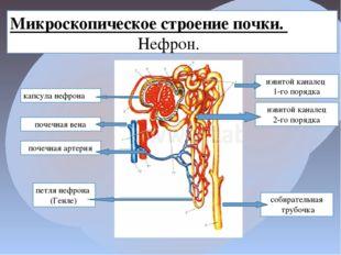 Микроскопическое строение почки. Нефрон. извитой каналец 1-го порядка извитой
