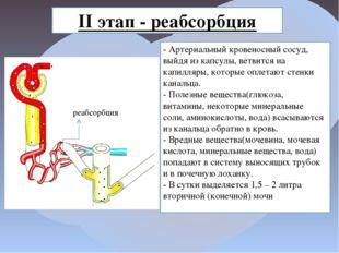 II этап - реабсорбция - Артериальный кровеносный сосуд, выйдя из капсулы, вет