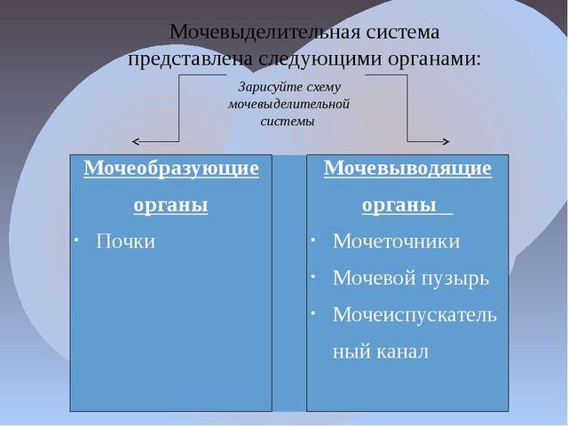 Мочевыделительная система представлена следующими органами: Зарисуйте схему м...