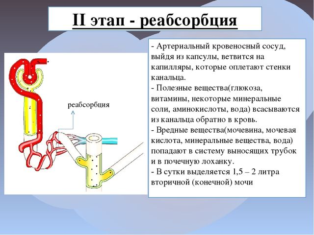 II этап - реабсорбция - Артериальный кровеносный сосуд, выйдя из капсулы, вет...