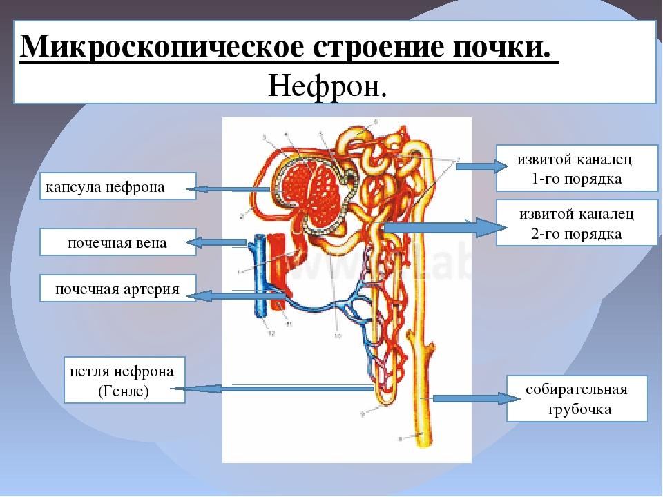 Микроскопическое строение почки. Нефрон. извитой каналец 1-го порядка извитой...
