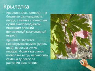 Крылатка Крылатка (лат. samara) — в ботанике разновидность плода, семянка с к