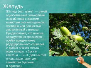 Желудь Жёлудь (лат. glans) — сухой односемянный синкарпный нижний плод с жест