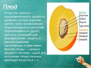 Плод Плод (лат. fructus) — видоизменённый в процессе двойного оплодотворения
