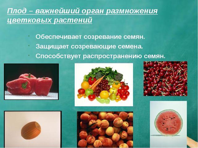 Плод – важнейший орган размножения цветковых растений Обеспечивает созревание...