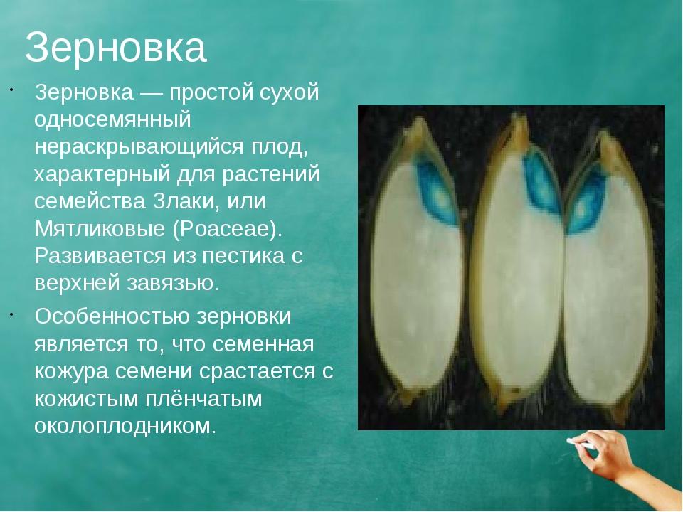 Зерновка Зерновка — простой сухой односемянный нераскрывающийся плод, характе...