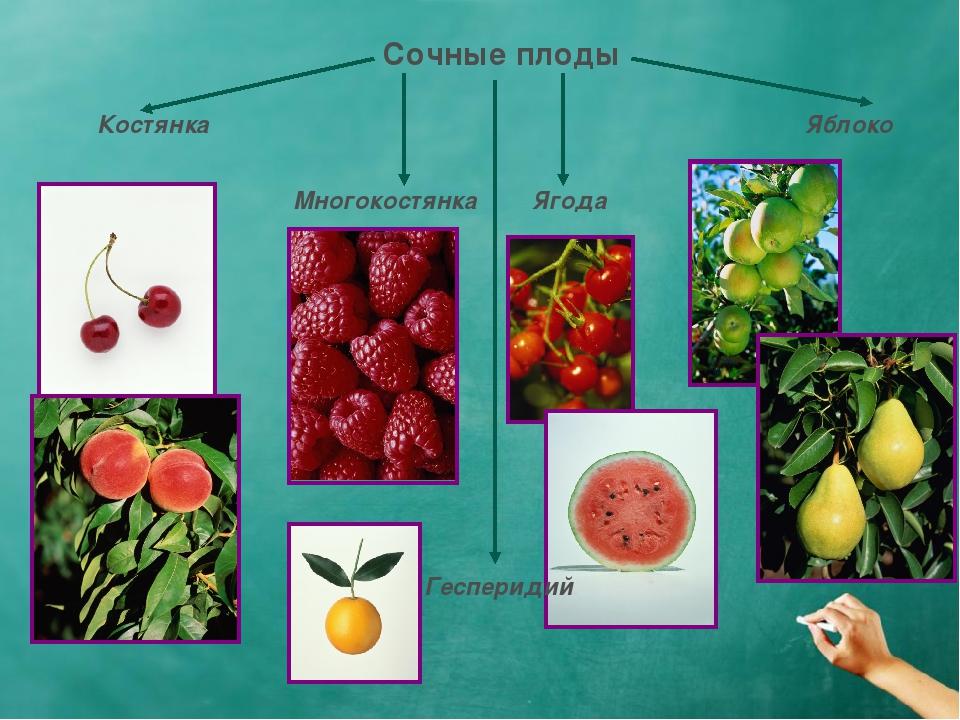 Сочные плоды Костянка Многокостянка Ягода Яблоко Гесперидий