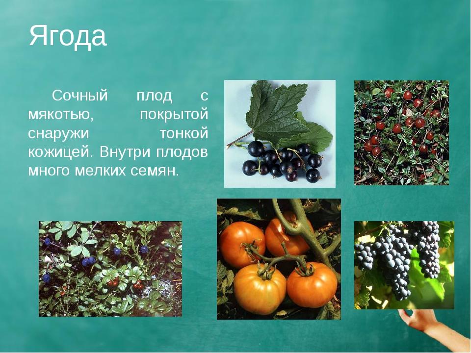 Ягода Сочный плод с мякотью, покрытой снаружи тонкой кожицей. Внутри плодов...