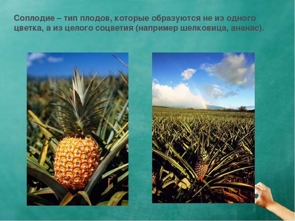 Соплодие – тип плодов, которые образуются не из одного цветка, а из целого со...