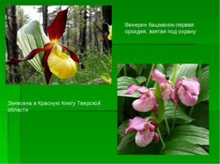Венерин башмачок-первая орхидея, взятая под охрану Занесена в Красную Книгу Т