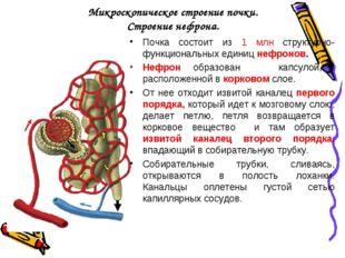 Микроскопическое строение почки. Строение нефрона. Почка состоит из 1 млн стр