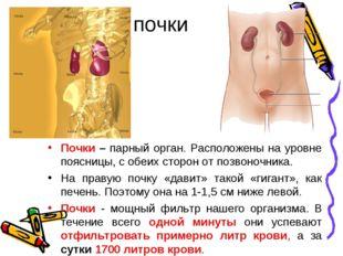 почки Почки – парный орган. Расположены на уровне поясницы, с обеих сторон от