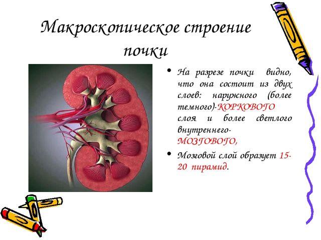 Макроскопическое строение почки На разрезе почки видно, что она состоит из дв...
