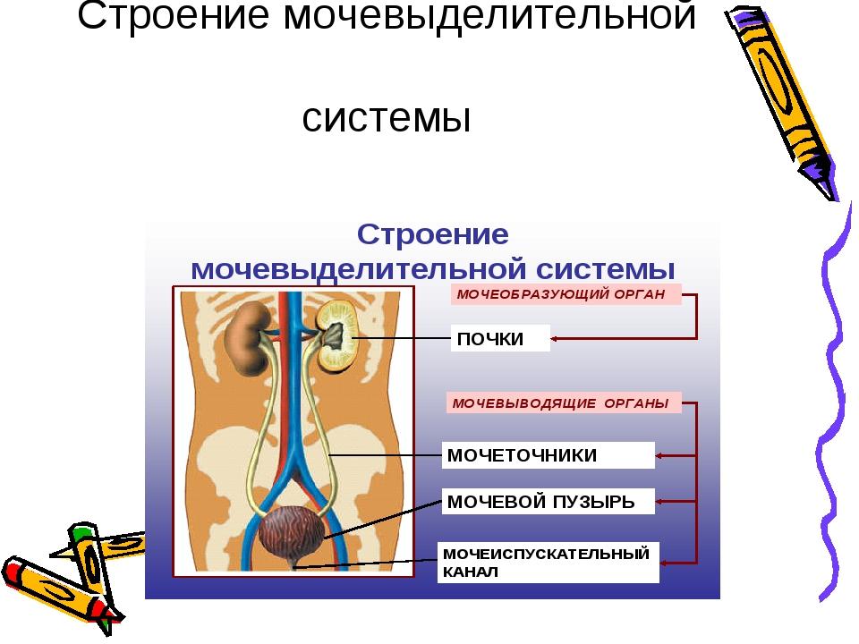 Строение мочевыделительной системы