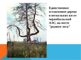 Единственное оставленное дерево в нескольких км от чернобыльской АЭС, на мест