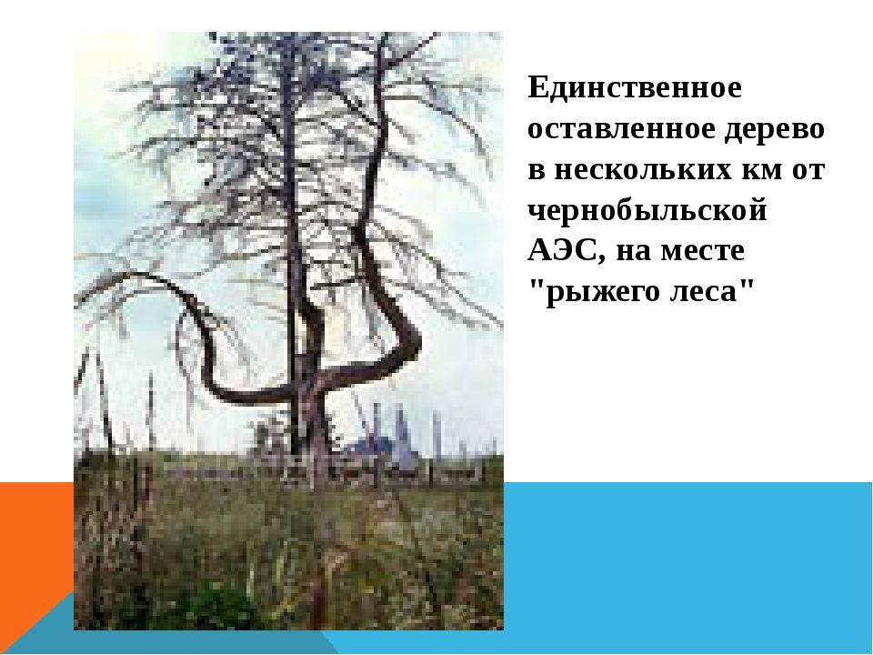 Единственное оставленное дерево в нескольких км от чернобыльской АЭС, на мест...