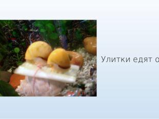 Улитки едят огурец