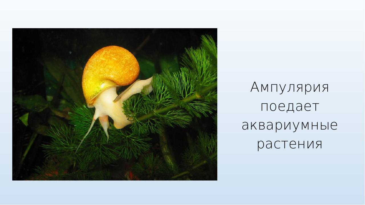 Ампулярия поедает аквариумные растения