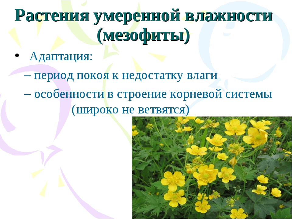 Растения умеренной влажности (мезофиты) Адаптация: – период покоя к недостат...