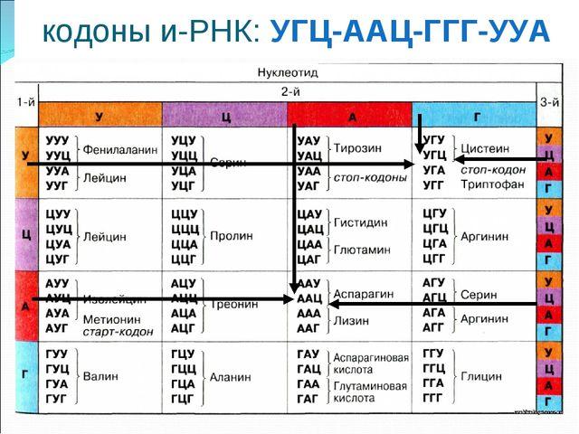 кодоны и-РНК: УГЦ-ААЦ-ГГГ-УУА