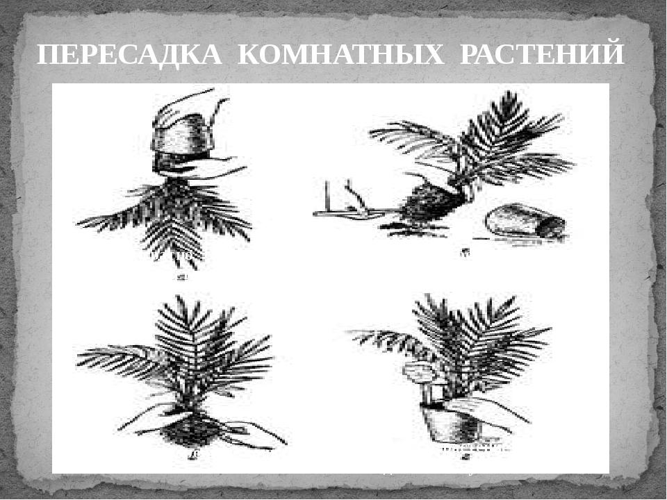 ПЕРЕСАДКА КОМНАТНЫХ РАСТЕНИЙ Аккуратно достать растение Осмотреть земляной к...