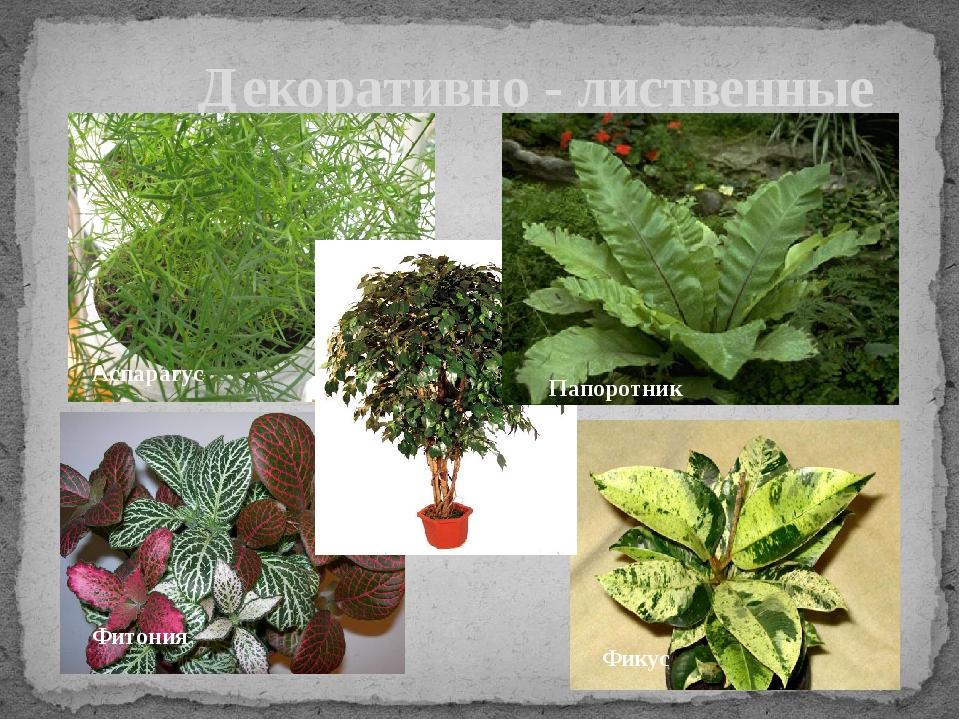 Декоративно - лиственные Папоротник Аспарагус Фикус Фикус Фитония