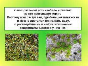 У этих растений есть стебель и листья, но нет настоящего корня. Поэтому мхи р