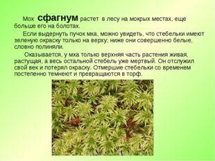 Мох сфагнум растет в лесу на мокрых местах, еще больше его на болотах. Если
