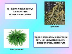 В наших лесах растут папоротники орляк и щитовник. Среди комнатных растений е