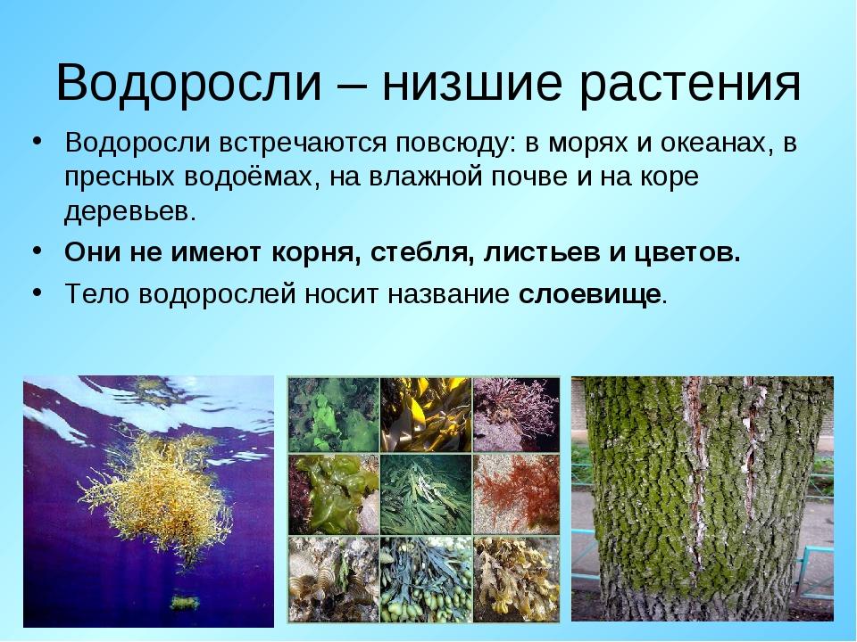Водоросли – низшие растения Водоросли встречаются повсюду: в морях и океанах,...