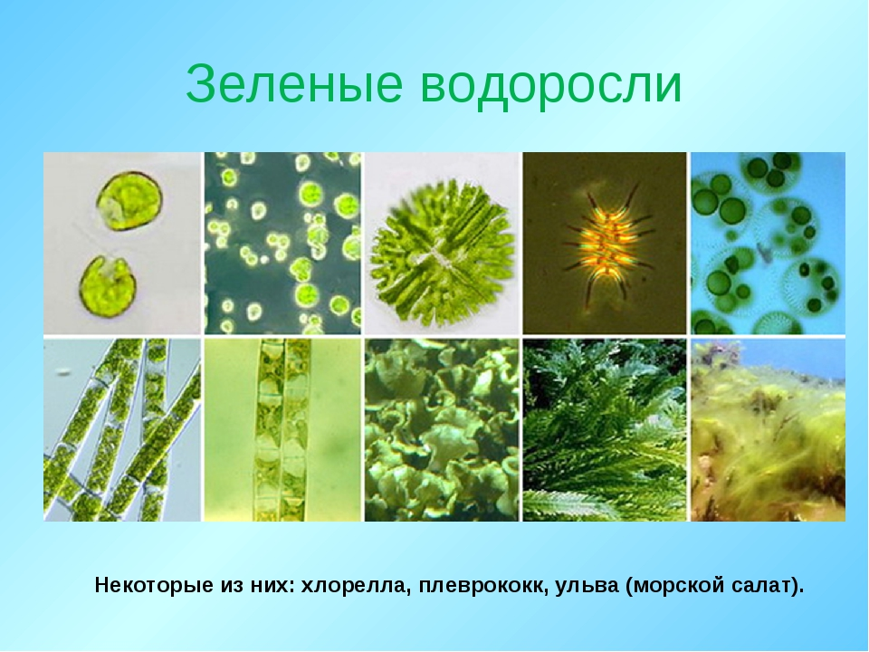 Зеленые водоросли Некоторые из них: хлорелла, плеврококк, ульва (морской сала...