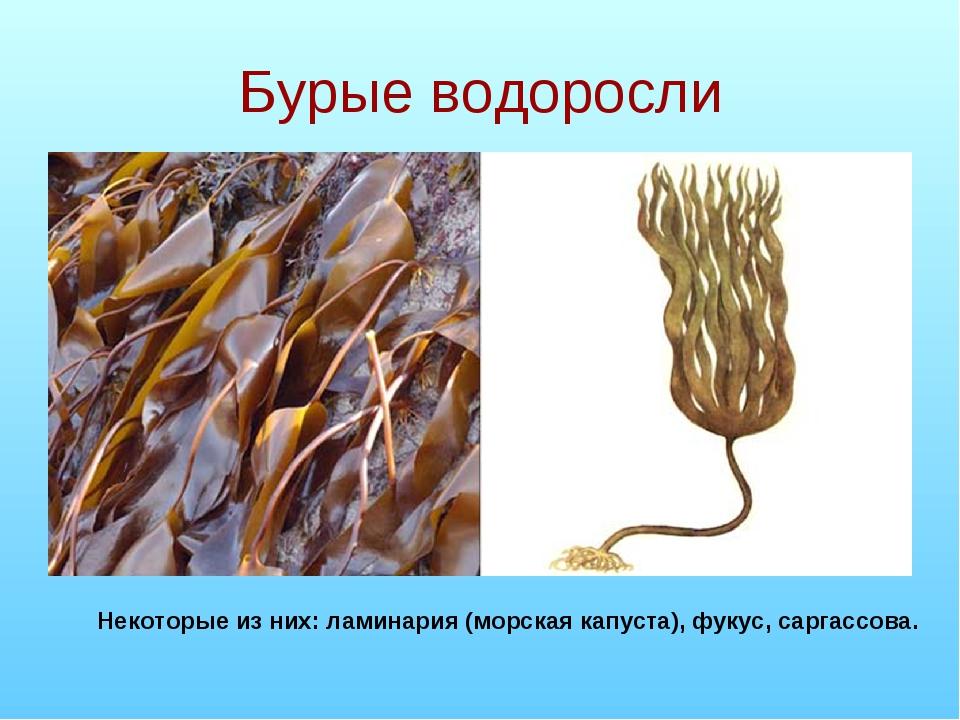 Бурые водоросли Некоторые из них: ламинария (морская капуста), фукус, саргасс...
