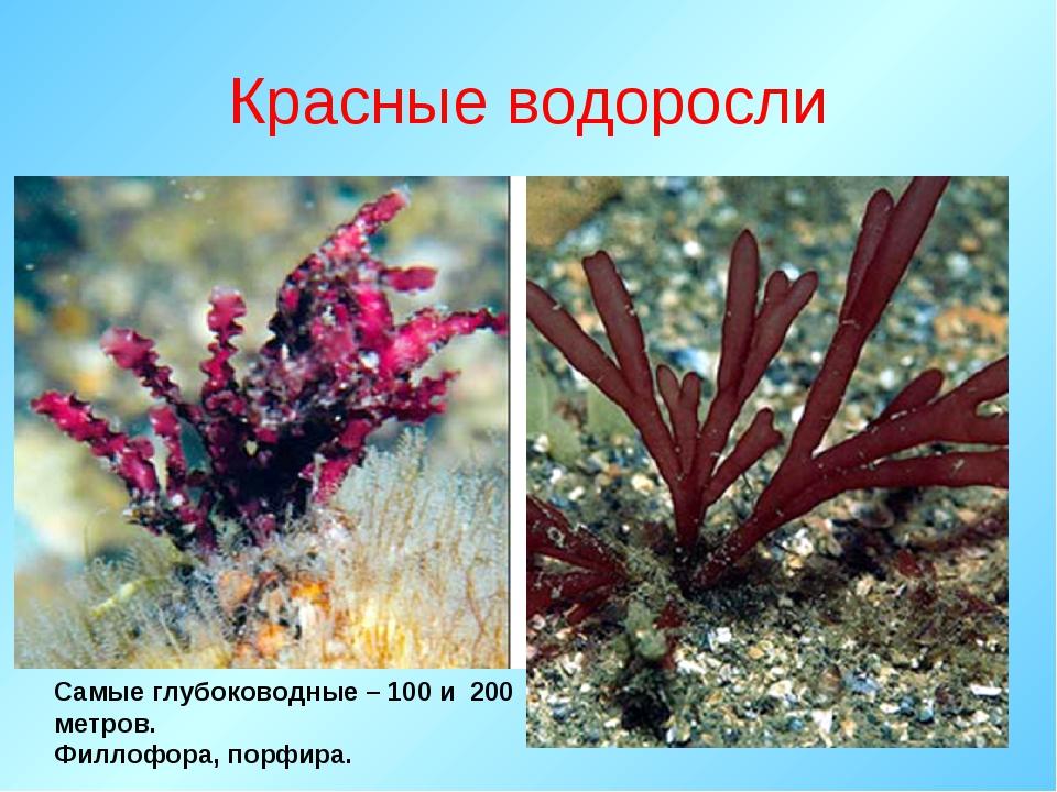 Красные водоросли Самые глубоководные – 100 и 200 метров. Филлофора, порфира.