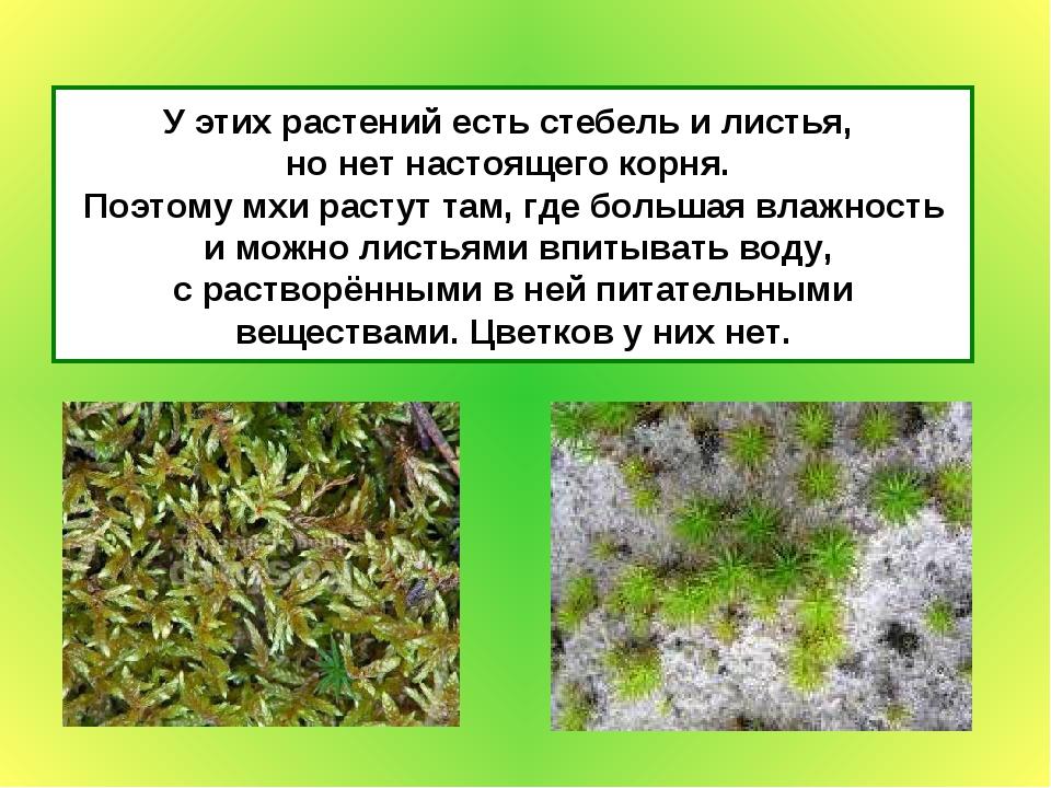 У этих растений есть стебель и листья, но нет настоящего корня. Поэтому мхи р...