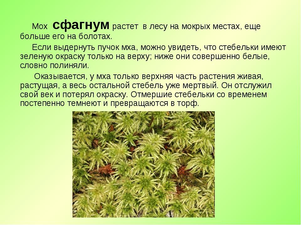 Мох сфагнум растет в лесу на мокрых местах, еще больше его на болотах. Если...