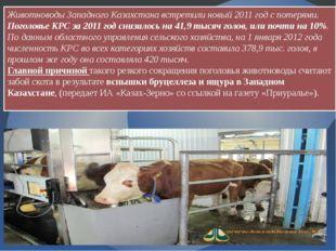 Животноводы Западного Казахстана встретили новый 2011 год с потерями. Поголов