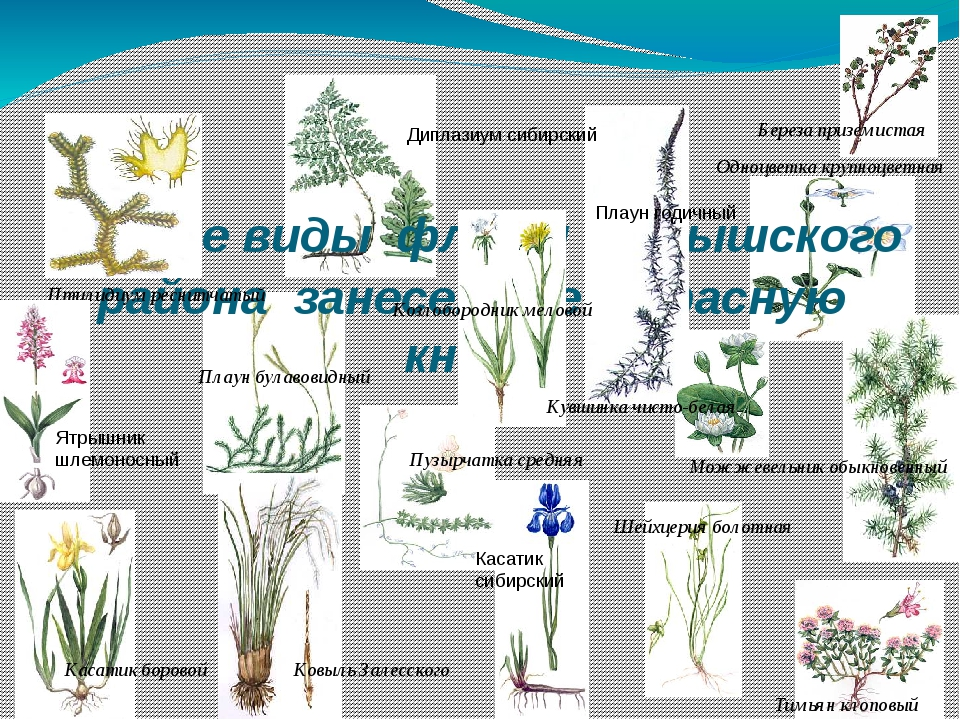Редкие виды флоры Барышского района занесенные в Красную книгу Одноцветка...