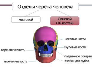 Лицевой (16 костей) Отделы черепа человека мозговой нижняя челюсть верхняя че