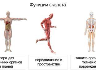 Функции скелета передвижение в пространстве опора для внутренних органов и т