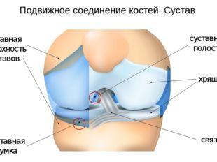 суставная сумка суставная полость Подвижное соединение костей. Сустав хрящ св