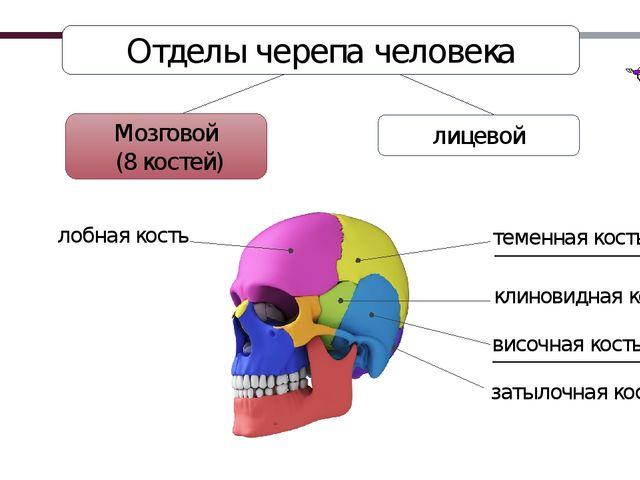 Отделы черепа человека Мозговой (8 костей) лицевой затылочная кость височная...